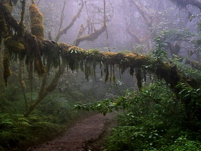 Cloud forest on the Machame Route up Kilimanjaro
