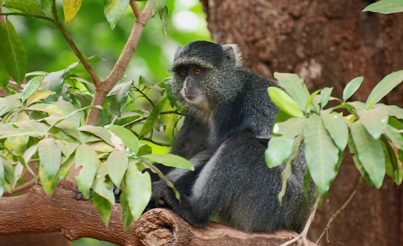 Blue Monkey in Tanzania