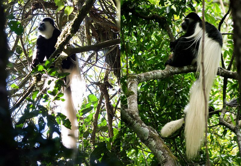 Black and white Colobus monkeys, animals of Kilimanjaro