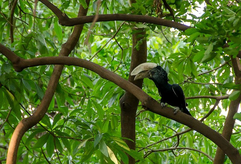 The Silvery-cheeked Hornbill, Kilimanjaro animals