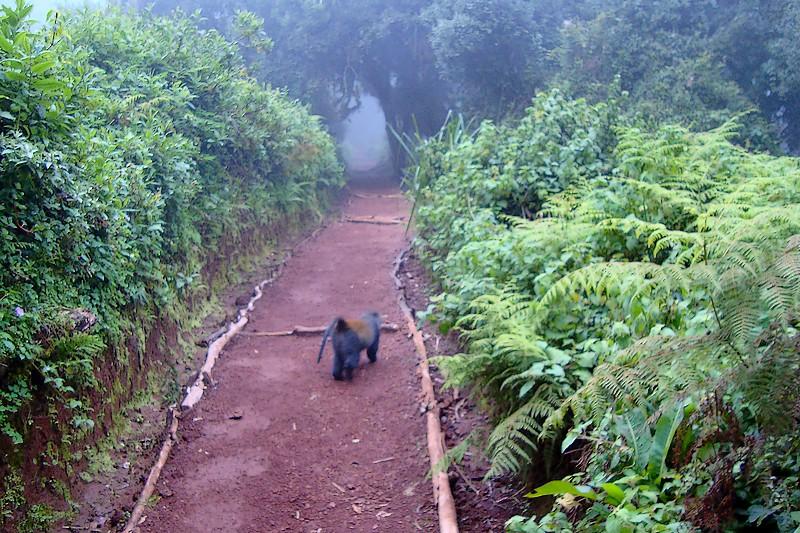 Monkey on the Marangu Trail
