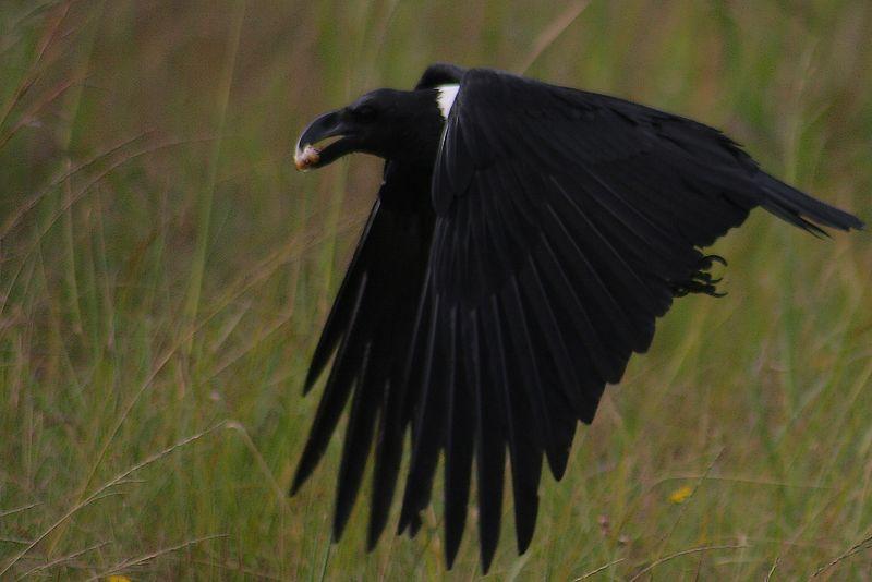 White-necked Raven, Kilimanjaro wildlife