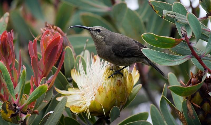 The plainer female sunbird, also on a protea flower, Kilimanjaro wildlife photo