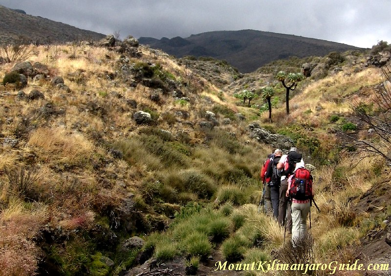 Walking through charred senecios towards Kili