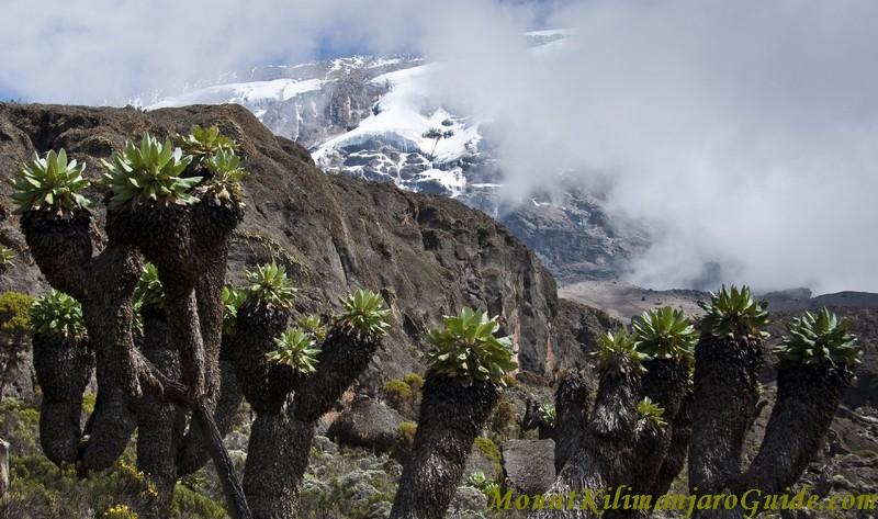 Senecios in the Barranco Valley