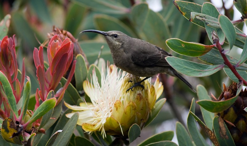 The plainer female sunbird, also on a protea flower, Kilimanjaro wildlife photo